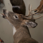 014 buckys taxidermy MG 0142 150x150 Deer