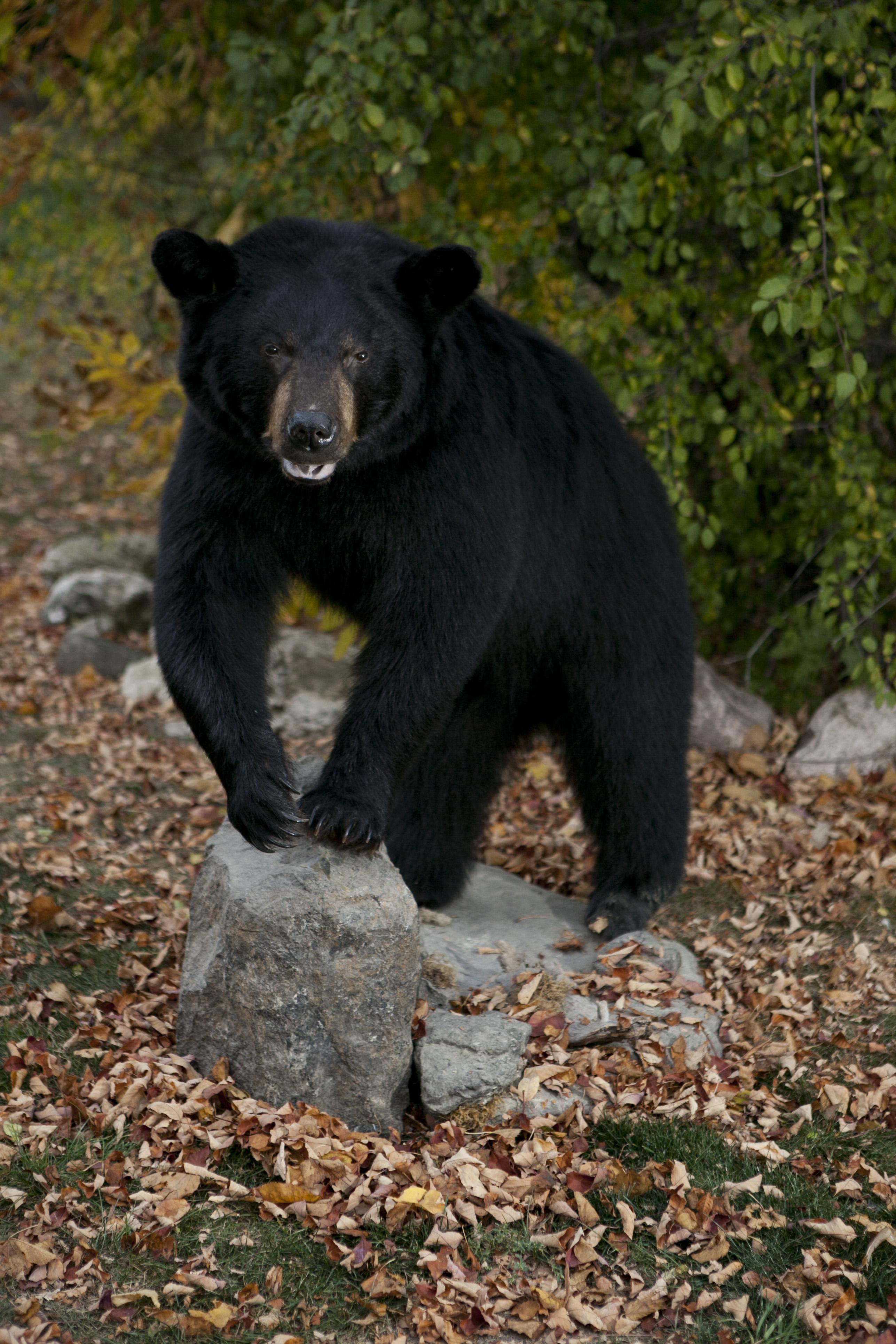 Bears Gallery Bucky S Taxidermy Wisconsin Taxidermy