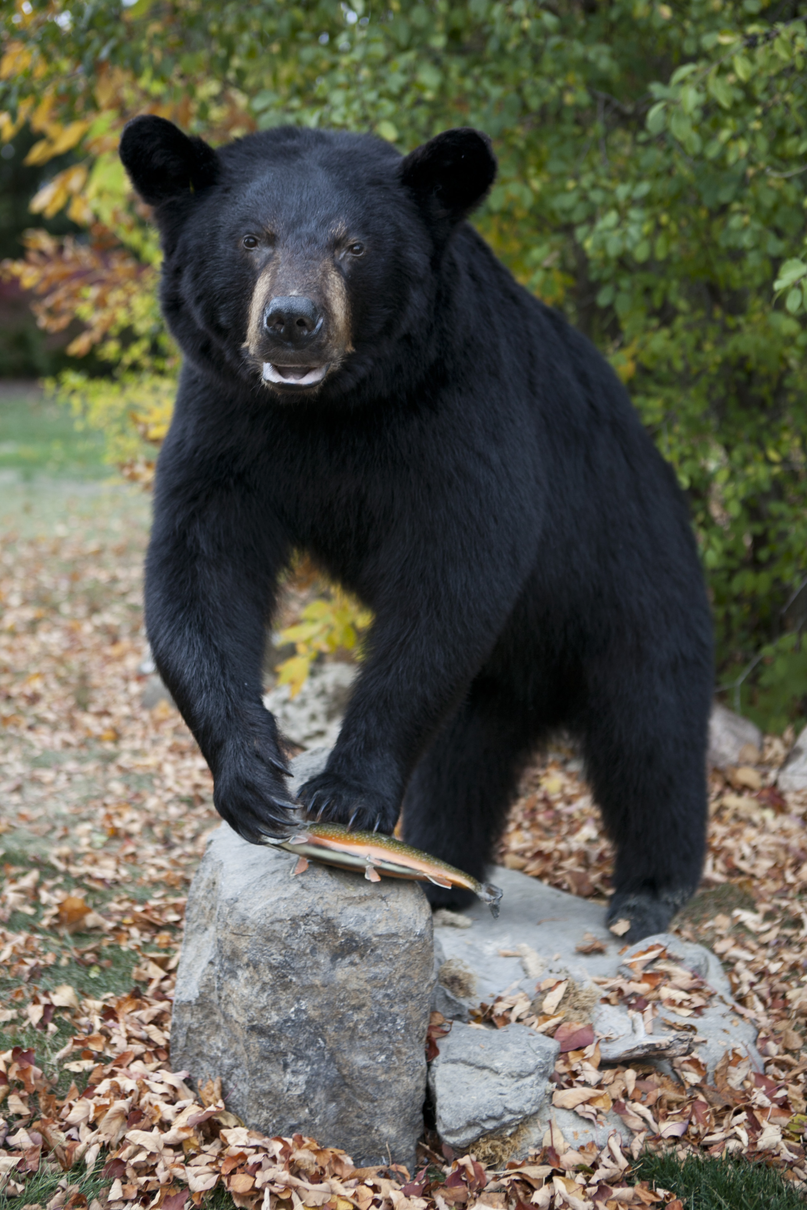 Bears Gallery Bucky S Taxidermy Wisconsin Taxidermy