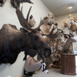 066 buckys taxidermy MG 0310 150x150 Deer