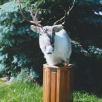 deer11 150x150 Deer