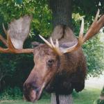 deer15 150x150 Deer