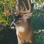 deer18 150x150 Deer