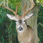 deer24 150x150 Deer