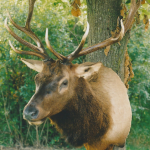 deer25 150x150 Deer