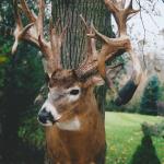 deer4 150x150 Deer