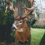 deer7 150x150 Deer