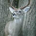 deer8 150x150 Deer