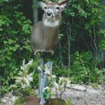 deer9 150x150 Deer