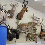 Taxidermy African, Elk,Cats 027