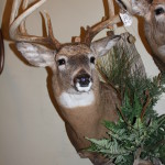 Taxidermy African, Elk,Cats 034